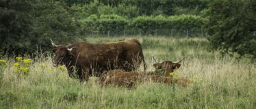 Cattle grazing on grass royalty free stock image