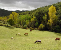 Cattle grazing in a green field royalty free stock photography
