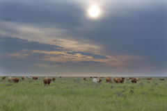 Cattle Grazing. On green grass, South Africa stock images