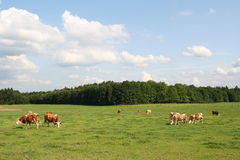 Cattle grazing on a green meadow Stock Photo