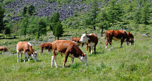 Cattle grazing on a high Stock Images