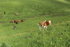 Cattle grazing on the high mountain grassland Stock Photos