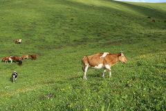 Cattle grazing on the high mountain grassland Royalty Free Stock Photo