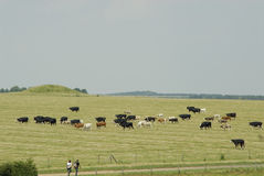 Cattle Grazing In A Field Royalty Free Stock Photography