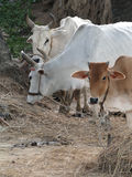 Cattle grazing in local village Stock Images