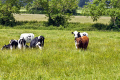 Cattle grazing on a lush meadow Stock Photography
