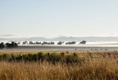 Cattle grazing in the misty early morning royalty free stock photo