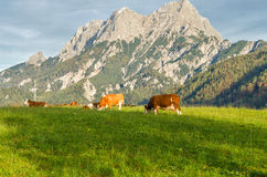 Cattle Grazing Stock Photos