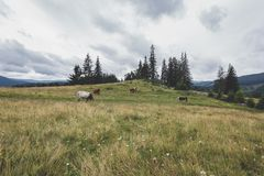 Calimani National Park - 12 Apostles. Cattle grazing on the mountain meadows of Bucovina Royalty Free Stock Images