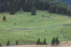 Calimani National Park - 12 Apostles. Cattle grazing on the mountain meadows of Bucovina Stock Photography