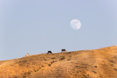 Cattle grazing, mountain and moon Royalty Free Stock Photos