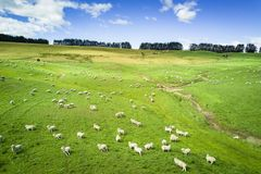 Aerial view of cattle in New Zealand countryside on the South Island stock image