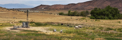 Cattle Grazing Open Field Stock Photos