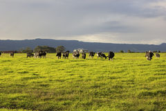 Cattle grazing in the open meadows in Australia. On a beautiful afternoon royalty free stock images