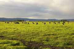 Cattle grazing in the open meadows in Australia. On a nice afternoon stock photo