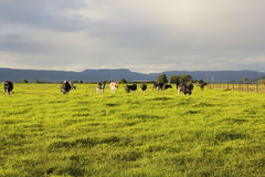 Cattle grazing in the open meadows in Australia. On a nice afternoon royalty free stock photography