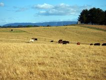 Cattle Grazing in Open Paddock, Tasmania Stock Photos
