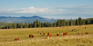 Cattle Grazing on Pasture Stock Photos