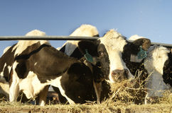 Cattle Grazing in a pen Stock Photos