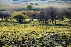 A cattle grazing on the prairie in autumn Stock Photography