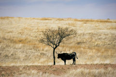 Cattle Grazing on Prairie Spring Grass. Cattle Grazing on Ranch Spring Grass. Single Longhorn standing under barren solitary shade tree Royalty Free Stock Photo