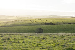 Cattle Grazing on Random Farmland in the Fleurieu Peninsula, Sou. Random coastal farming land in the Fleurieu Peninsula, South Australia, with grazing cattle in Royalty Free Stock Photography