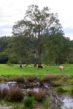 Cattle grazing in a rich green pasture Royalty Free Stock Photos