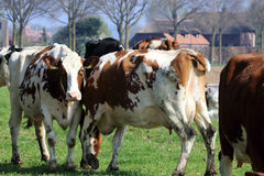 Cattle grazing between six and nine hours a day Stock Photo