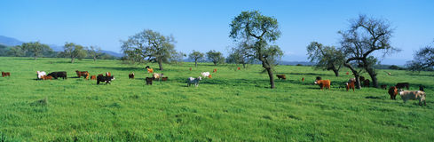 Cattle grazing in a spring field Stock Images