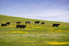 Cattle grazing among spring wildflowers, south San Francisco bay, California stock photography
