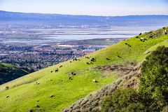 Cattle grazing on a steep hill, south San Francisco bay area in the background, California royalty free stock photography