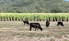Cattle Grazing by Sugar Plantation. The cattle are grazing beside a sugar plantation. The cattle can graze with a lot of feed from the sugar crop Royalty Free Stock Image