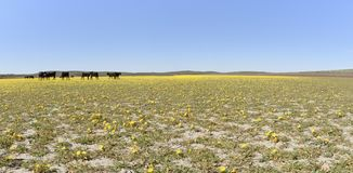 Cattle Grazing Tansy-Leaf Evening Primrose at Cow Lakes, Malheur County, South Eastern Oregon. Beef Production, Malheur County, South Eastern Oregon Stock Photo
