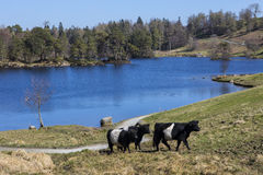 Cattle Grazing at Tarn Hows in the Lake District Stock Photo
