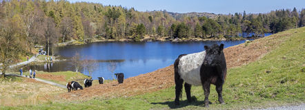 Cattle Grazing at Tarn Hows in the Lake District. Belted Galloway cattle grazing on the shores of the picturesque Tarn Hows in the Lake District in Cumbria, UK Stock Image