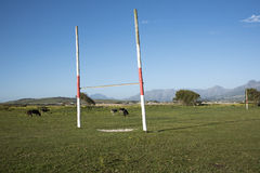 Cattle grazing on a village rugby pitch Stock Photo