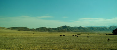 Cattle grazing. On wide open fields Royalty Free Stock Photos