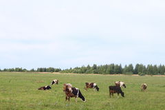 Cattle grazing in the yard of the farm Stock Images