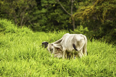 Cattle Grazing Stock Photography