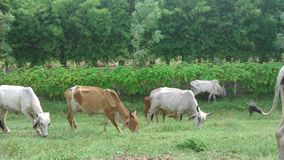 Cattle in the green field Royalty Free Stock Image