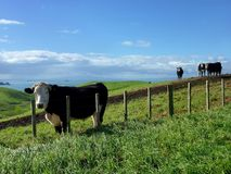 Cattle on green hills in front of the sea. Cattle standing on the green rolling hills of Motutapu Island near Auckland with the sea in the background Stock Image