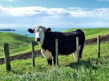 Cattle on green hills in front of the sea. Cattle standing on the green rolling hills of Motutapu Island near Auckland with the sea in the background Royalty Free Stock Images