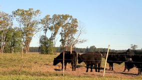Cattle in the Argentine countryside stock video