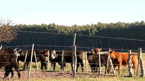 Cattle in the Argentine countryside stock video footage