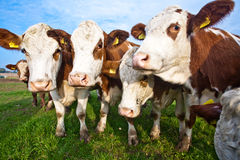 Cattle on green meadow are feeded Royalty Free Stock Photography