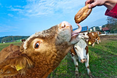Cattle on green meadow are feeded Stock Photo