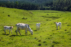 Cattle on green pasture Royalty Free Stock Photos