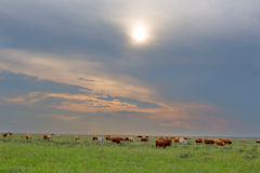 Cattle in green pastures Stock Photos