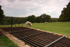 Cattle grid and sheep. A cattle grid preventing sheep from leaving a field. Taken in England Royalty Free Stock Images