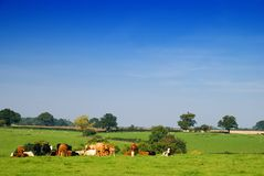 Cattle Group Royalty Free Stock Photos
